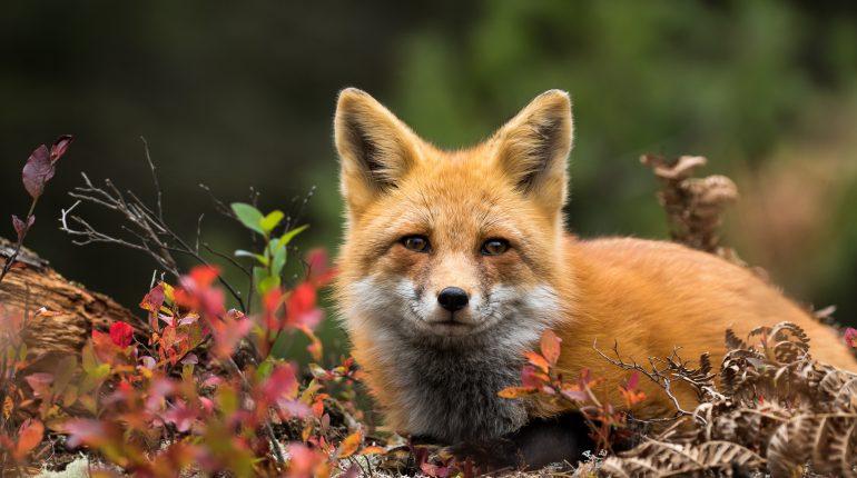 grand est tir renard roux