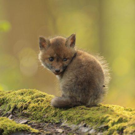 mobilisation générale pour le renard roux